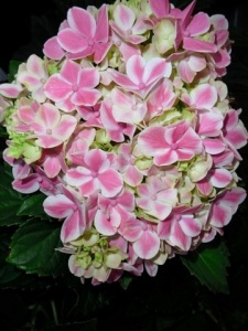 "Hydrangea Macrophylla, ""Peppermint Pattie"""